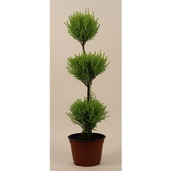 "6"" Goldcrest Topiary 3 Ball    (Case 8)"