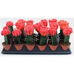 """Additional Images for 3.25"""" Cactus Grafted Red   (Case 18)"""