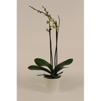 """5"""" Phal Orchid 2 Spike all White in Ceramic Pot (Case 8)"""
