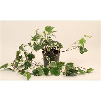 "6"" Ivy Marengo  (Case 9)"