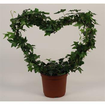 "6"" Ivy Heart  (Case 8)"