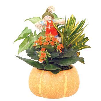 Indoor Garden Harvest Pumpkin Small    (Pack 6)