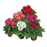"Additional Images for 4.5"" Gerbera Assorted (Case 15)"