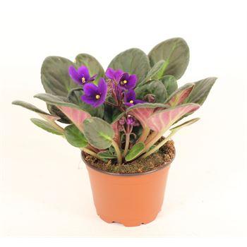 """4"""" African Violet Assorted (Case 18)"""