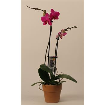 "5"" Phal Orchid 2 Spike in Terra Cotta (Case 8)"