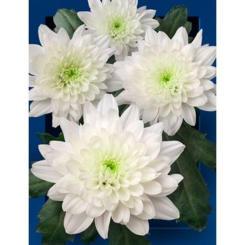 Poms (Cutmums) White Flat