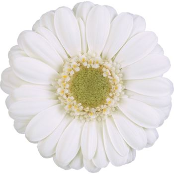 Gerbera Mini Albino