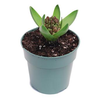 "4"" Hyacinth        (Case 18)"
