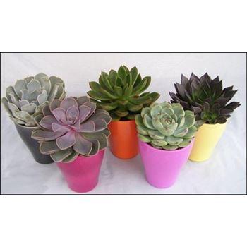 """4"""" Echeveria in Ceramic       (Case 15)"""
