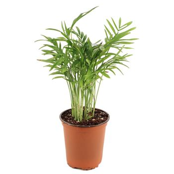 "3.5"" Palm Neanthe Bella    (Case 18)"