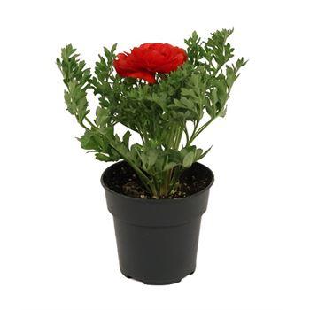 """4"""" Ranunculus    (Case 18)"""