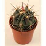 """Additional Images for 3.25"""" Cactus Asst     (Case 18)"""