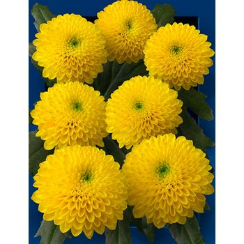 Poms (Cutmums) Local Yellow Button
