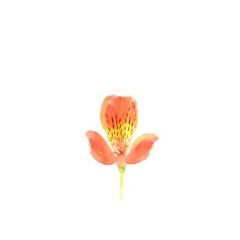 Alstroemeria Select Scarlet