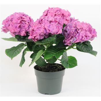"""6"""" Hydrangea 5 Bloom Premium      (Case 6)"""