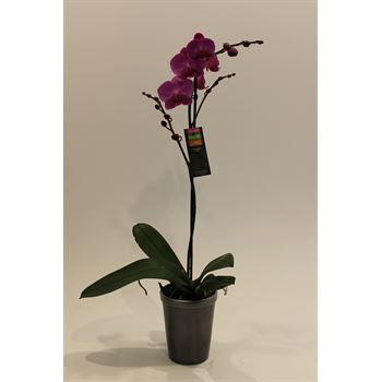 "5"" Phal. Orchid  1 Spike in Ceramic Pot  (Cs 8)"