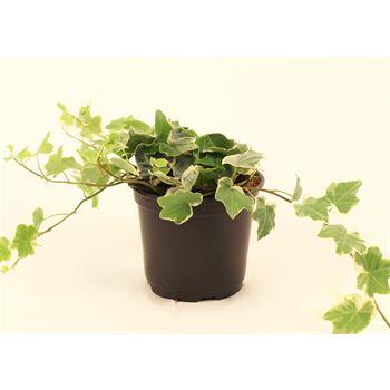 "6"" Ivy - English Varigated  (Case 9)"