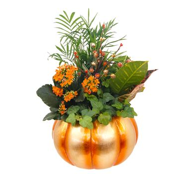 Indoor Garden PEPO202 Pepo Pumpkin Large(Pack 3)