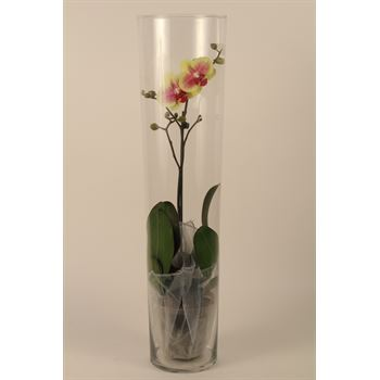 "5"" Phal. Orchid in Large Glass Vase   (Cs 6)"