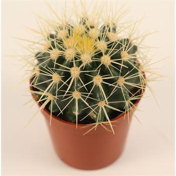 "3.25"" Golden Barrel Cactus"