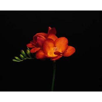 Freesia Orange