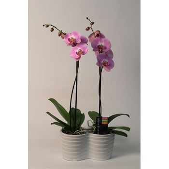 "5"" Phalaenopsis Orchid Duo in Ceramic Pots      (Case 4)"