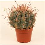 """Additional Images for 6"""" Cactus Assorted  (Case 6)"""