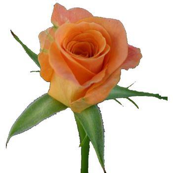 Sweetheart Rose Trixx
