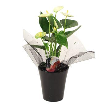 """4"""" Anthurium in Black Ceramic with Gift Bag       (Case 10)"""