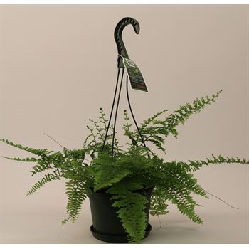 "6.5"" HB Fern Golden Moss    (Case 9)"
