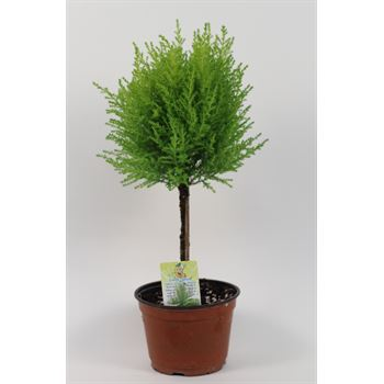 """6"""" Goldcrest Topiary      (Case 8)"""