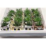 """Additional Images for 2.5"""" Succulent in Nevada Pot   (Pack  24)"""
