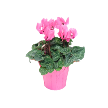 "4.5"" Cyclamen Pink w/Pink Cover BCA   (Case 15)"