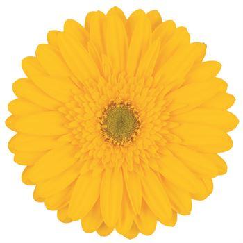 Gerbera Select Yellow