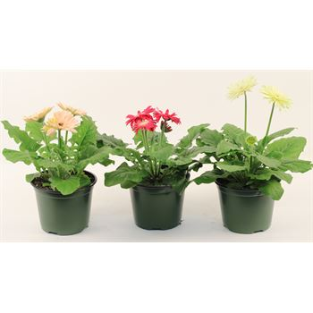 "6"" Gerbera Assorted (Case 8)"