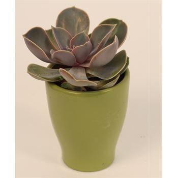 """3"""" Echeveria in Ceramic    (Case 18)"""