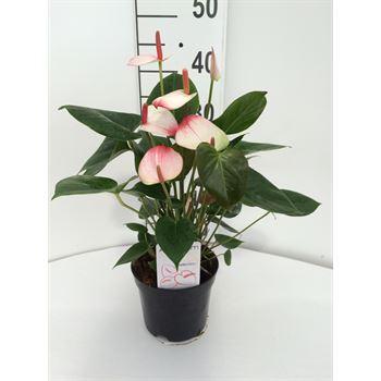 """6"""" Anthurium  """"Elegance""""  (Case 8)"""
