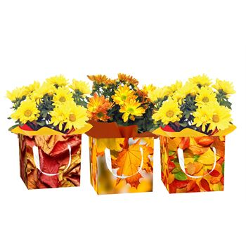 Mum in Assorted Fall Boxes  (Pack 15)
