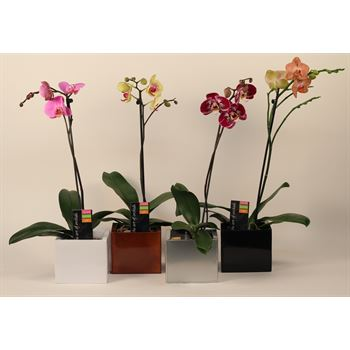 "5"" Phal. Orchid  1 Spike in Metal Cube  (Cs 8)"