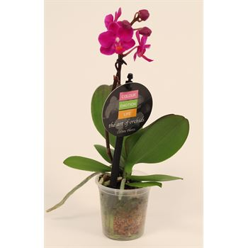 "2.5"" Phalaenopsis Orchids        (Case 18)"