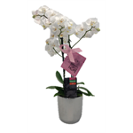 "Additional Images for 3.5"" Phalaenopsis Multi-Spike Multiflora in Ceramic BOWL  (Case 8)"