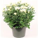 """Additional Images for 8"""" Mums Assorted (Case 4)"""
