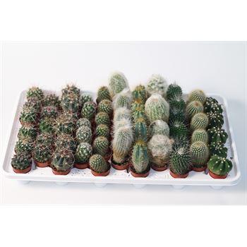 """1.5"""" Cactus in Plastic Pot (Case 61)"""