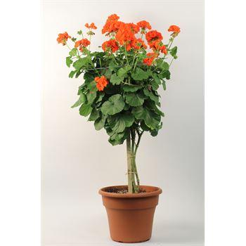 """12"""" Geranium Tree     (Case 2)"""