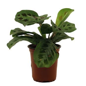 "3.5"" Prayer Plant       (Case 18)"