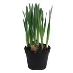 """6"""" Daffodil        (Case 8)"""