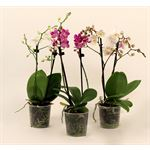 "Additional Images for 3.5"" Phalaenopsis Multiflora       (Case 12)"