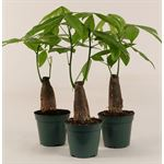 "Additional Images for 4.5"" Pachira Non Braided Money Tree       (Case 15)"