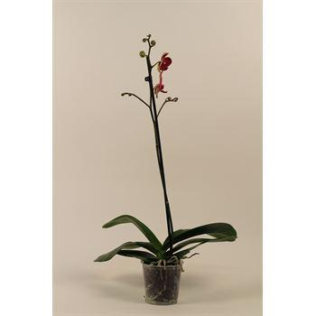 "5"" Phal. Orchid  1 Spike   (Cs 10)"