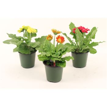 "4.5"" Gerbera Assorted (Case 15)"
